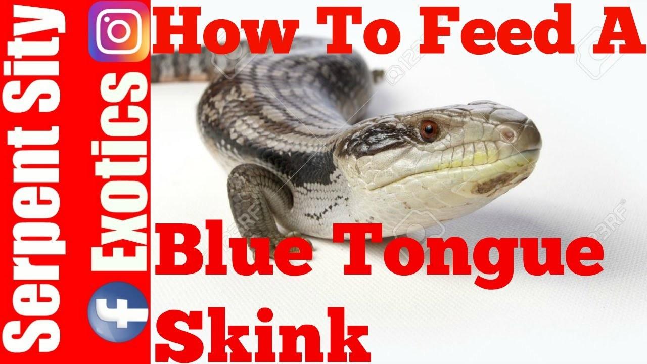HOW TO FEED A BLUE TONGUE SKINK. BLUE TONGUE SHINK FEEDING SerpentSityExotics