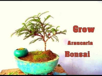 How to Grow Araucaria Bonsai September 2016 (Hindi)