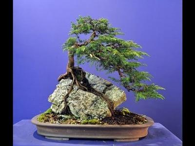 How to Grow Tamarind on the Rock from Seed || Grow Tamarind Bonsai || Bonsai tips