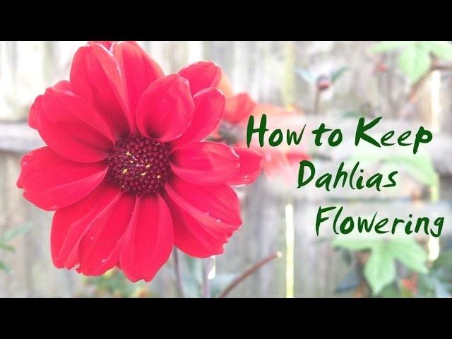 How to Keep Dahlias Flowering