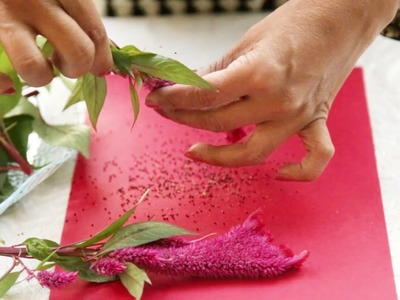 Preserving the Colors of Summers : Learn How To Collect Celosia Seeds?(Urdu,Hindi)