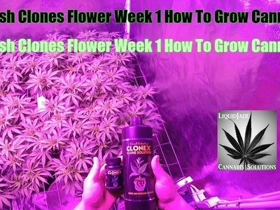 BD Kush Clones Flower Week 1 How To Grow Cannabis