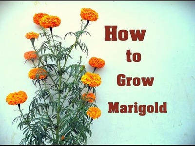 How to Shift Big Marigold In the Pot | Marigold  Care & tips. Mammal Bonsai - December 2016