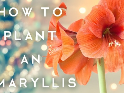 How to Plant an Amaryllis PLUS Faux Aged Terra Cotta Pots - DiY Holiday Gift Tutorial