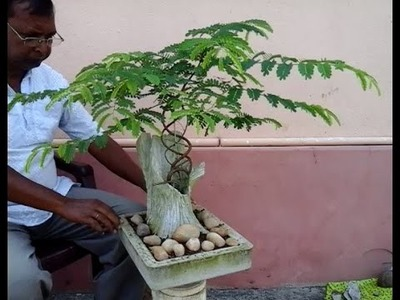 How to make bonsai Tamarind tree (update)