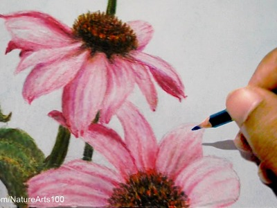 Drawing Roses: Echinacea purpurea With Colored pencils