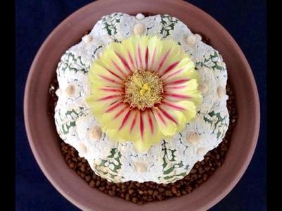 How to grow astrophytum cactus plants & care (Cactus Garden)