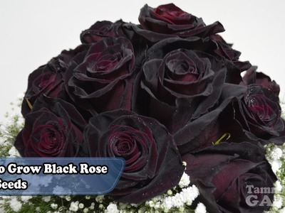 How To Grow Black Rose From Seeds