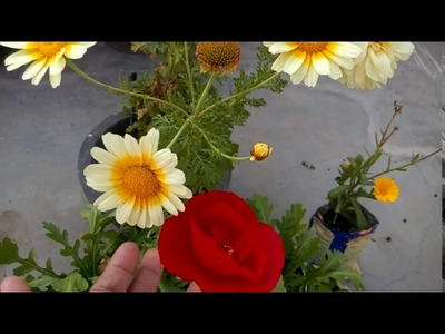 270 - How to grow GAILLARDIA (Hindi.Urdu) - 1.2.17