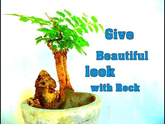 How to Bonsai - Give a Beautiful look with Rock || Trumpet Creeper