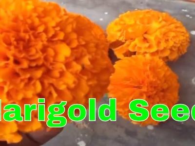 गेंदे के बीज कैसे एकत्रित करे. How to collect marigold seeds. Mammal Bonsai