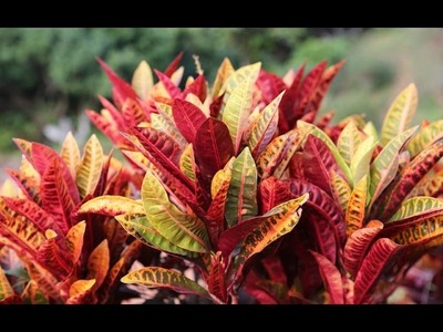 How to grow colourful CROTON plant : Tips and care In Hindi.Urdu