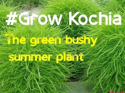 How to grow kochia burning bush  | ornamental kochia scoparia grass  (hindi)