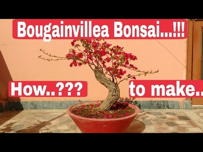 How to make Bougainvillea Bonsai, Bougainvillea Bonsai care