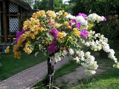 How to graft bougainvillea plants.