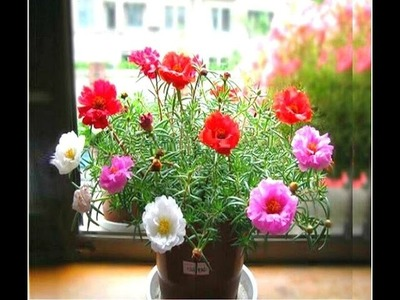 How to Grow portulaca  (Gul e Dopehri) Plants in Plastic bottles - Urdu.hindi
