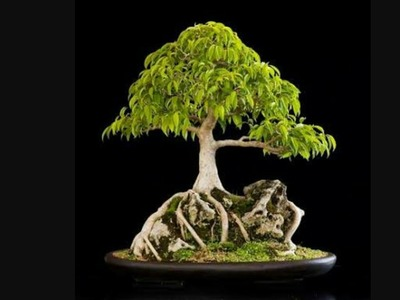 How to Re-pot Root over Rock Ficus Bonsai: Pakistan Bonsai Society