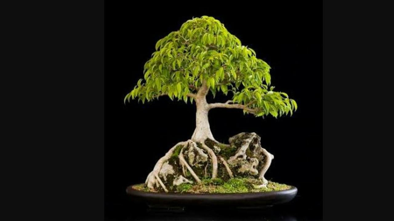How to Re-pot Root over Rock Ficus Bonsai: Pakistan Bonsai Society