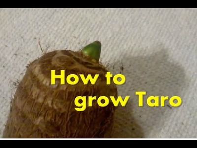 How to grow Eddoe.Taro elephant ears from the grocery store