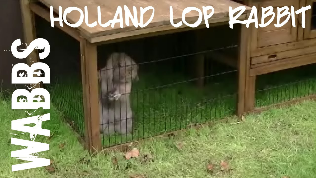 Lop rabbit likes his homemade outside hutch for Homemade bunny houses