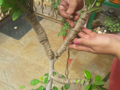 How to make Ficus Bonsai ||29 Aril, 2017