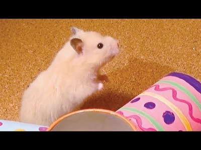 How to Make Hamster Roller with Pringles Can | DIY Hamster Toy