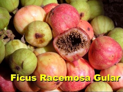 Ficus Racemosa Gular How to propagate from cutting & seeds (Urdu. Hindi)