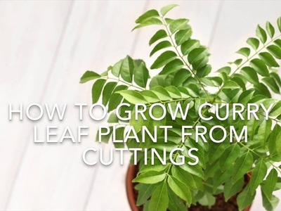 How To Grow Curry Leaf Plant From Cuttings. Using Rooting Hormone. Kitchen Gardening Ideas.