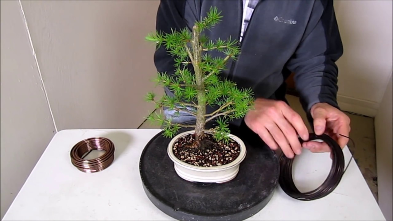How To Make A Bonsai Step By Beginners Guide Wiring Trees My