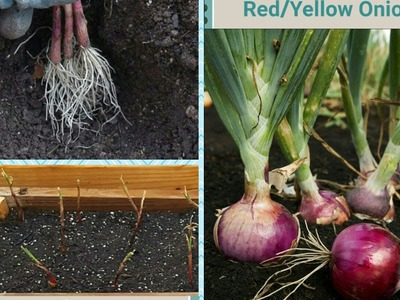 HOW TO PLANT.GROW ONIONS FROM BUNCHES IN RAISED BED