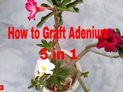How to Graft Adenium Plant || 5 Different Flowers in 1 Adenium Plant