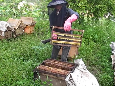How to harvest Royal Jelly