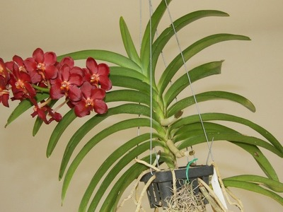 How To Repotting Vanda Orchids-7 Tips Potting Vanda Orchid-Watch This Video