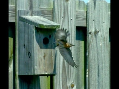 How to build an inexpensive Eastern Bluebird house