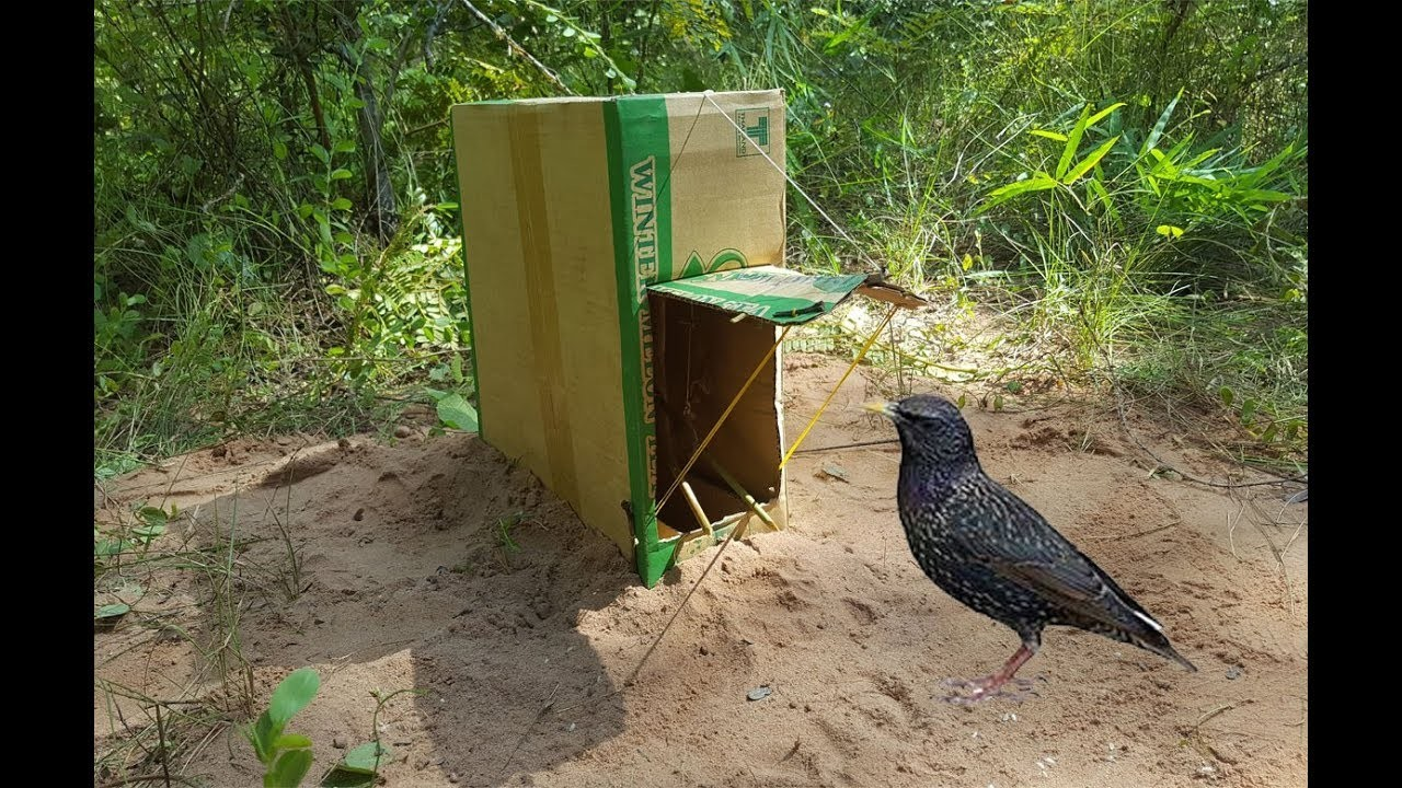 how to make a box trap for birds