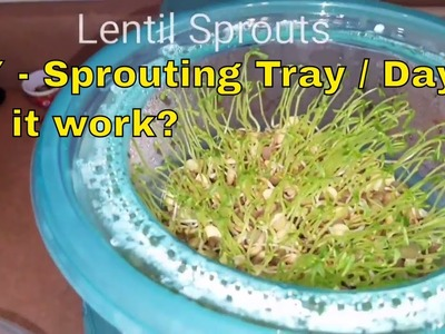 DIY- Sprouting Tray Update.DAY 4 | Did It Work?