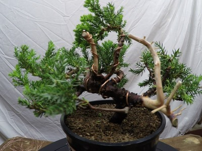 Juniper specimen complete styling from nursery stock to bonsai tree how to wiring pruning
