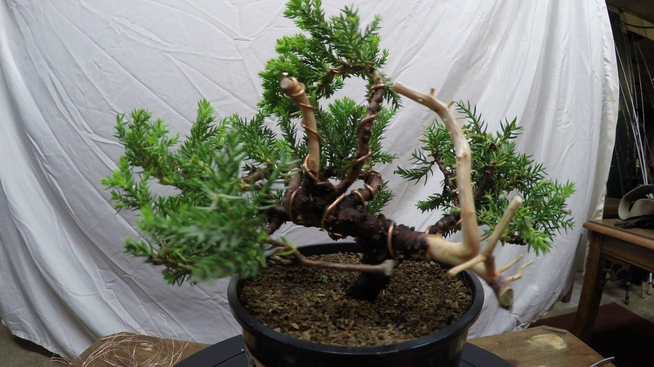 Juniper Specimen Complete Styling From Nursery Stock To Bonsai Tree Wiring In How Pruning