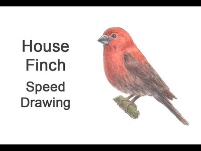 House Finch Time-lapse (Speed) Drawing