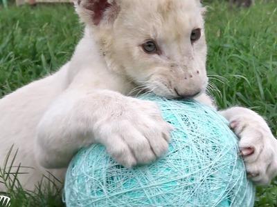 Lion Cub Kwanza Loves His Ball Of Yarn