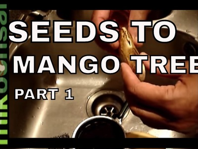 Bonsai: Mango trees Bonsai; How to Grow Bonsai Mango trees from Seeds  Part 1 | mikbonsai