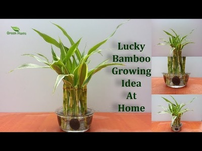 Lucky Bamboo Growing Ideas | How to Grow Lucky Bamboo | Lucky Bamboo Design.GREEN PLANTS