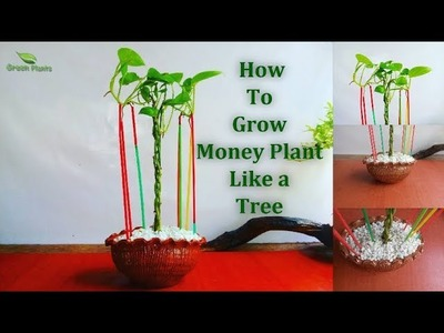 How to Grow Money Plant Like a Tree | Money plant Growing With Aerial Roots. GREEN PLANTS
