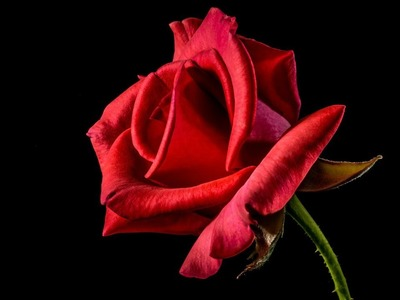 How to make a beautiful and amazing forever red rose for Valentine's day gift with crepe paper!