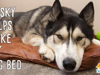 Husky Helps Make DIY Dog Bed