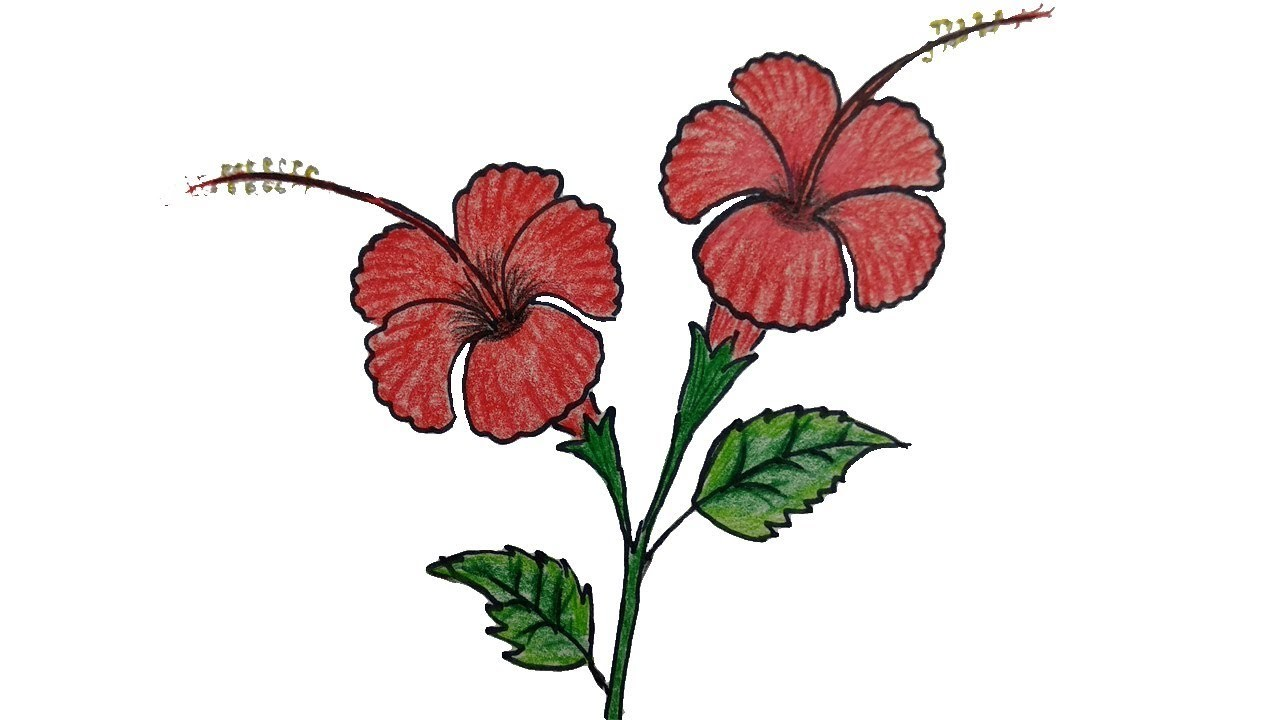How to draw a hibiscus flower step by step china rose joba ful drawing how to draw a hibiscus flower step by step china rose joba ful drawing izmirmasajfo