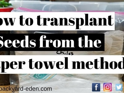 How to transplant seeds from the paper towel method | Backyard Eden - Sustainable Urban Homestead